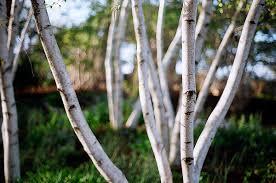 1 birch
