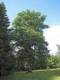 2 oak